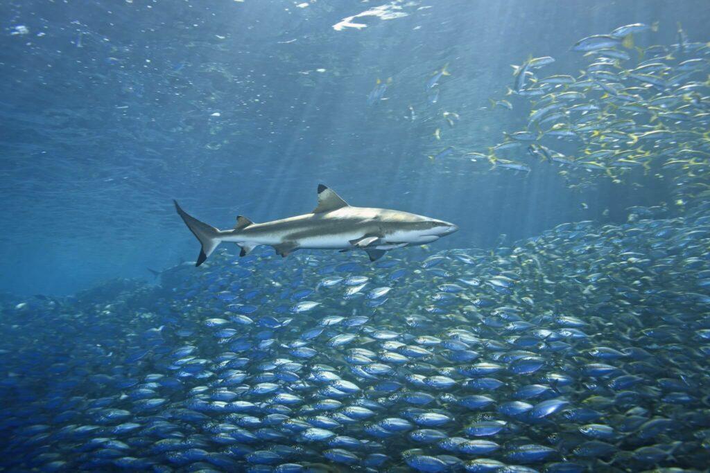 Black tip reef shark swims among yellow snapper at Bida Nok dive site
