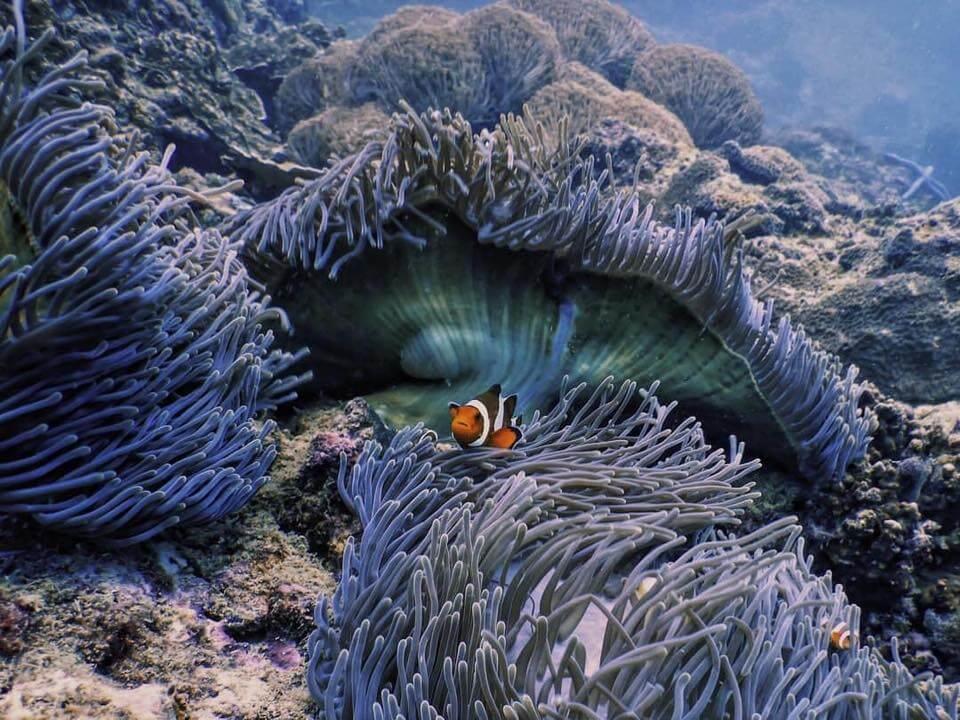 A clownfish swims through purple anemones at Garang Heng dive site - Koh Phi Phi, Thailand