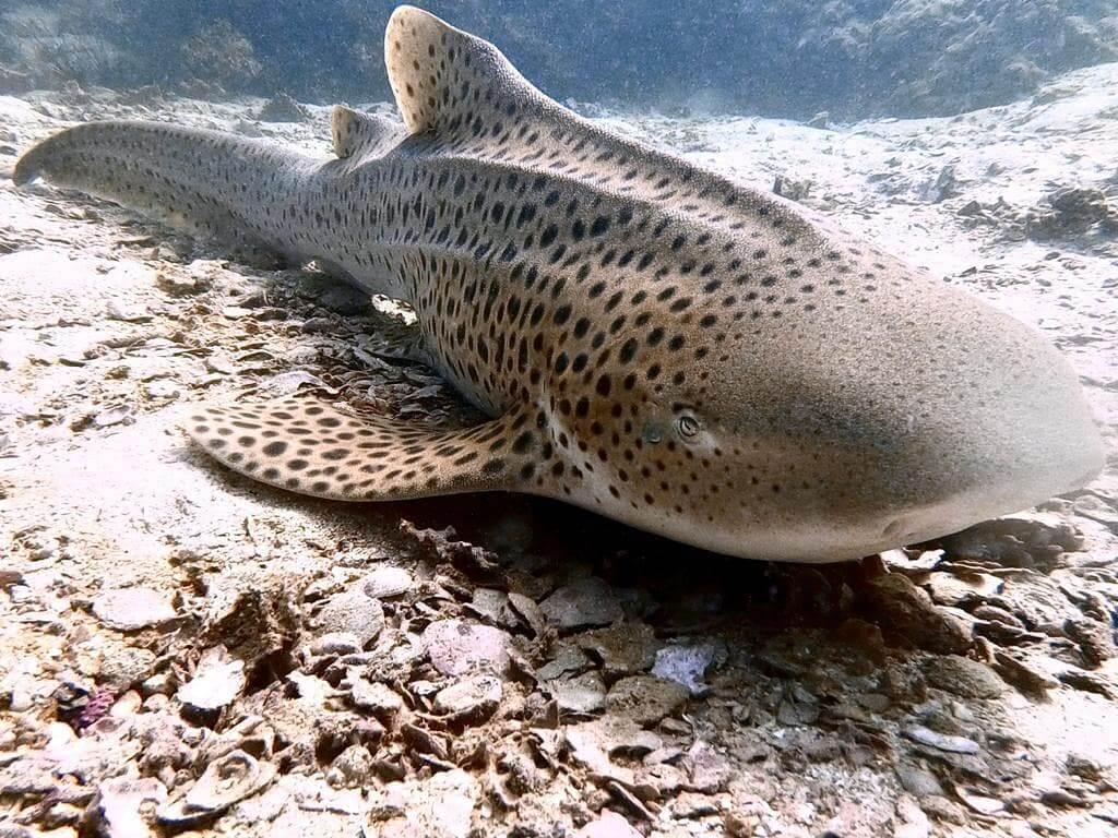 A leopard shark sits on the sea floor at Garang Heng dive site off Koh Phi Phi