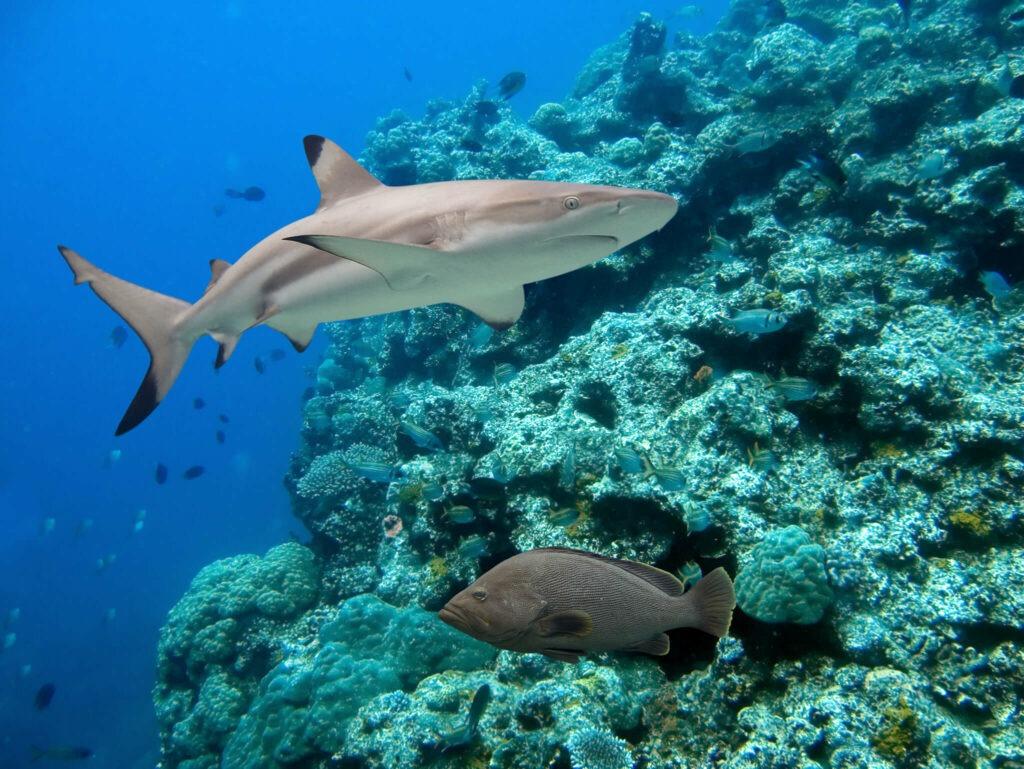 A blacktip reef shark swims along a wall at Palong dive site