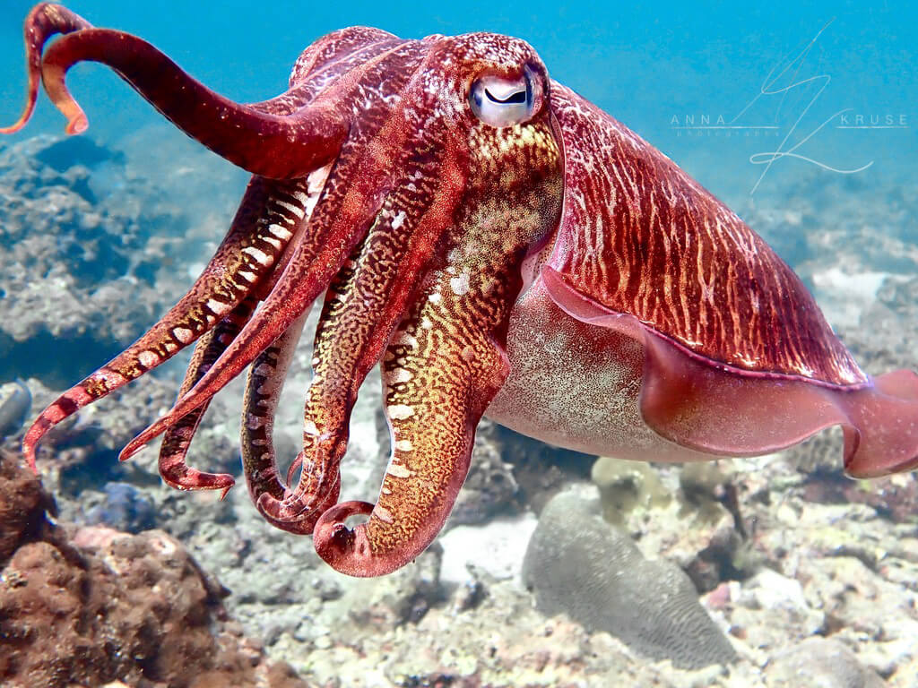 Red cuttlefish swims over a coral reef