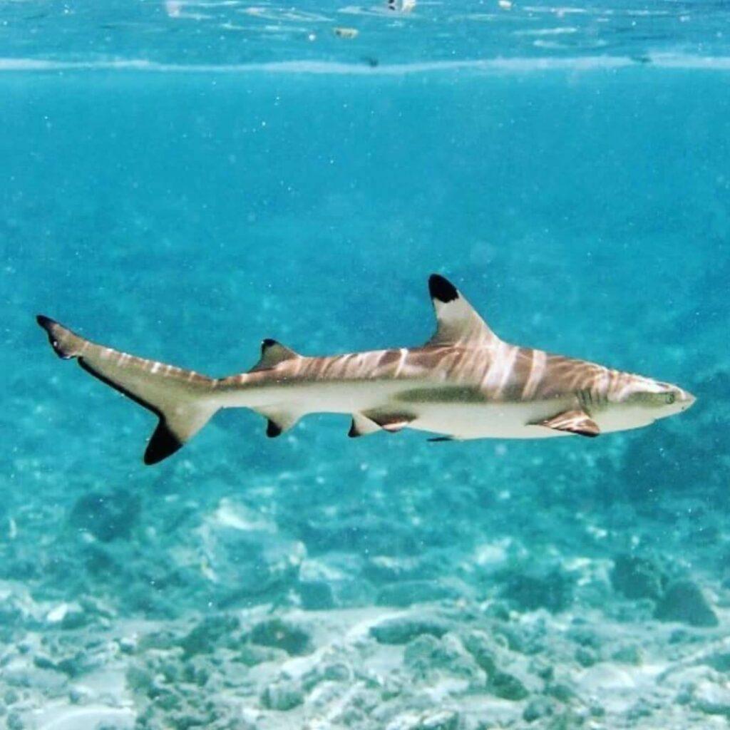 Blacktip reef shark swims at Shark Point