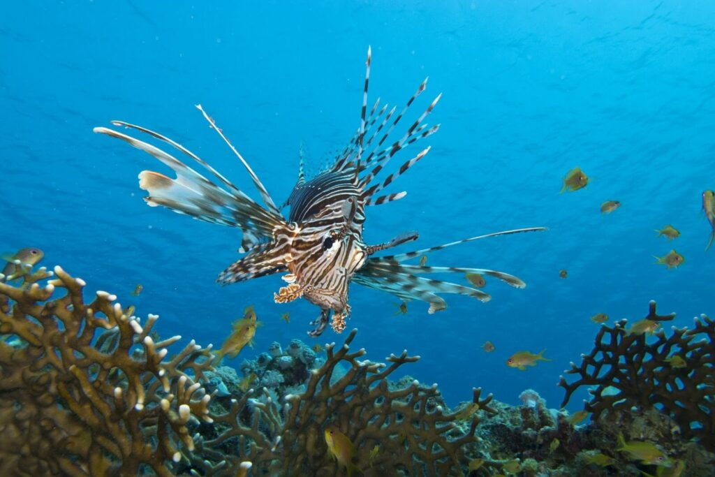 Red and white lionfish swims above a coral reef