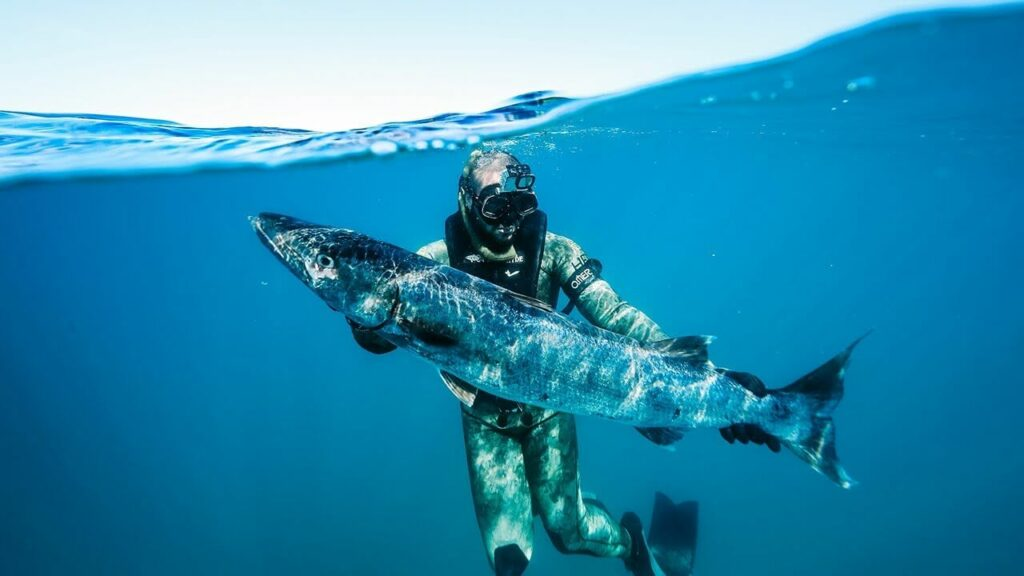 Someone catches a barracuda while spearfishing