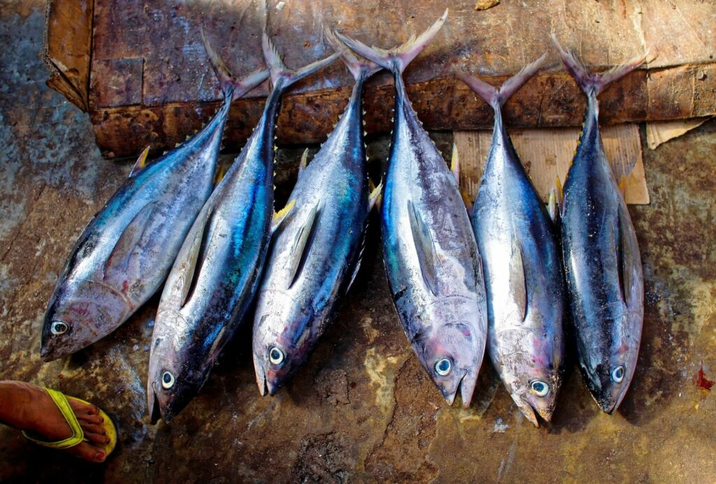 Tuna fish targeted and caught while fishing