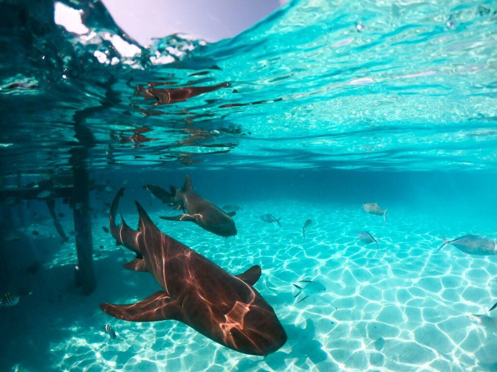 Nurse sharks swimming near a pier in the Bahamas