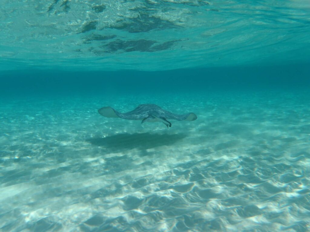 A Marbled Ray swimming above the sand in the Cayman Islands