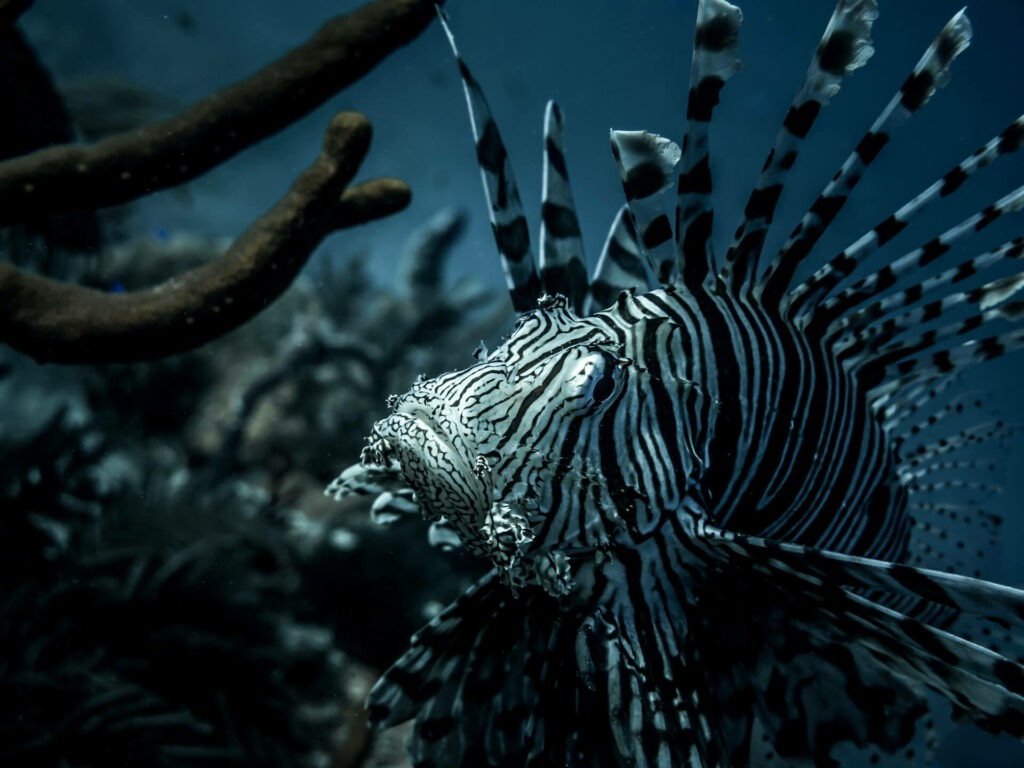 An invasive lionfish trolls the waters of Turks and Caicos