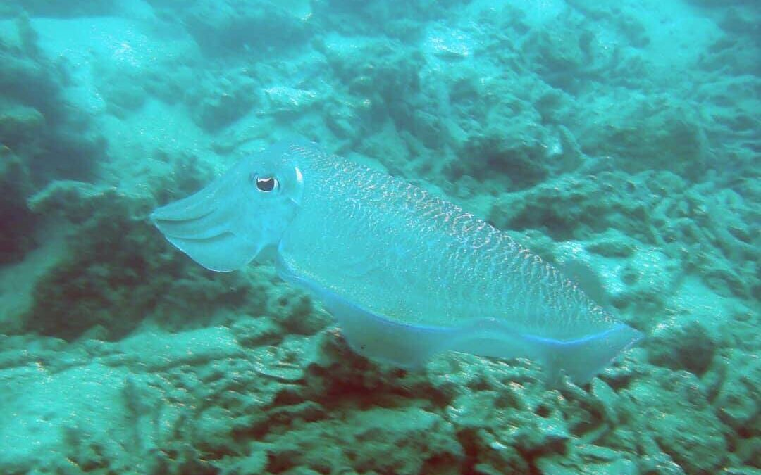 Colorless cuttlefish swims near the seafloor