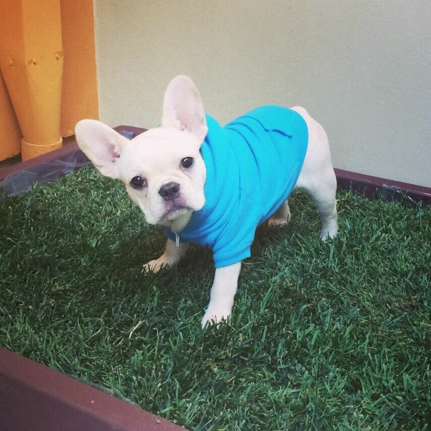 Small french bulldog standing on a fake grass-pad