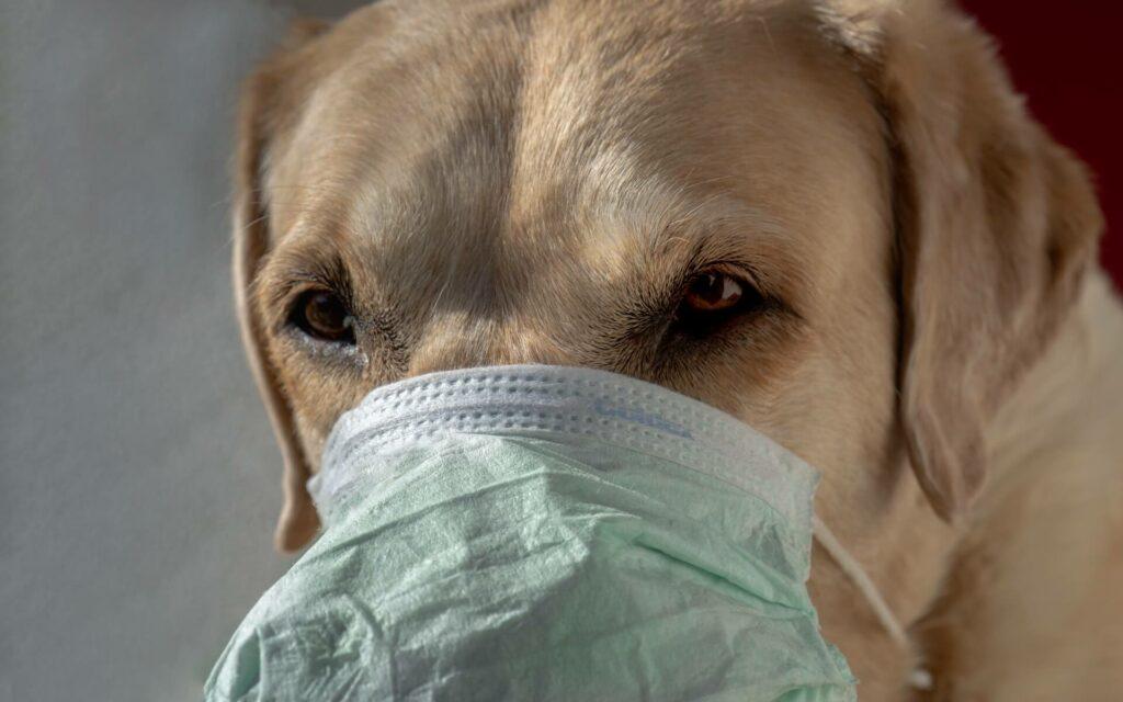 Sick dog wearing a facemask
