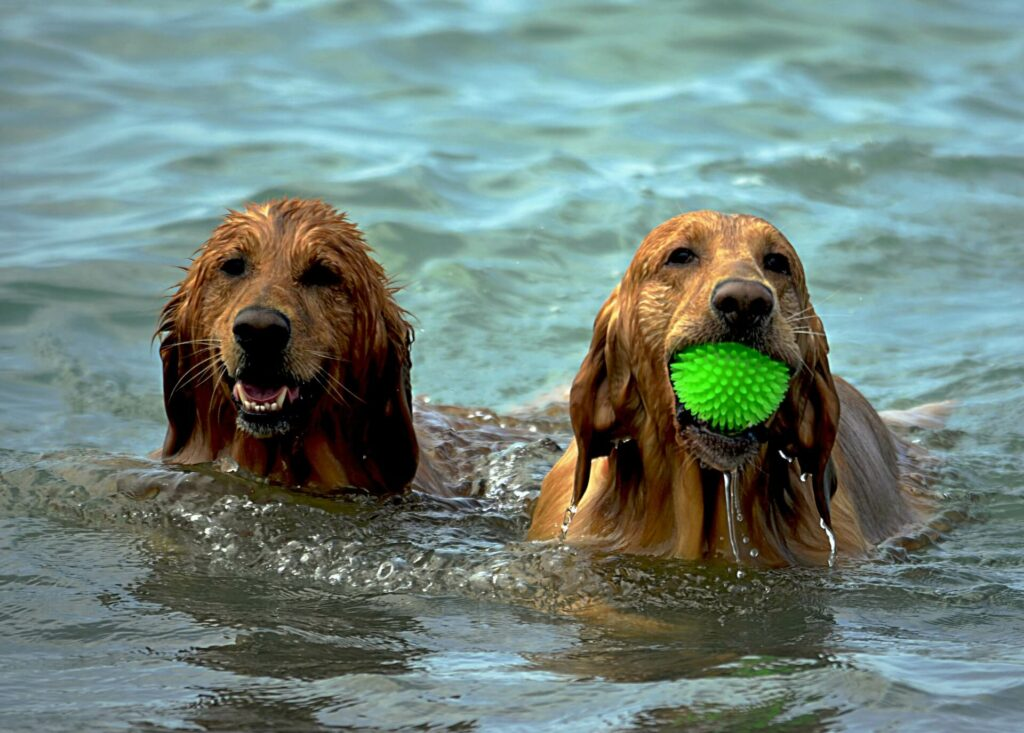 Two golden retrievers playing fetch at sea