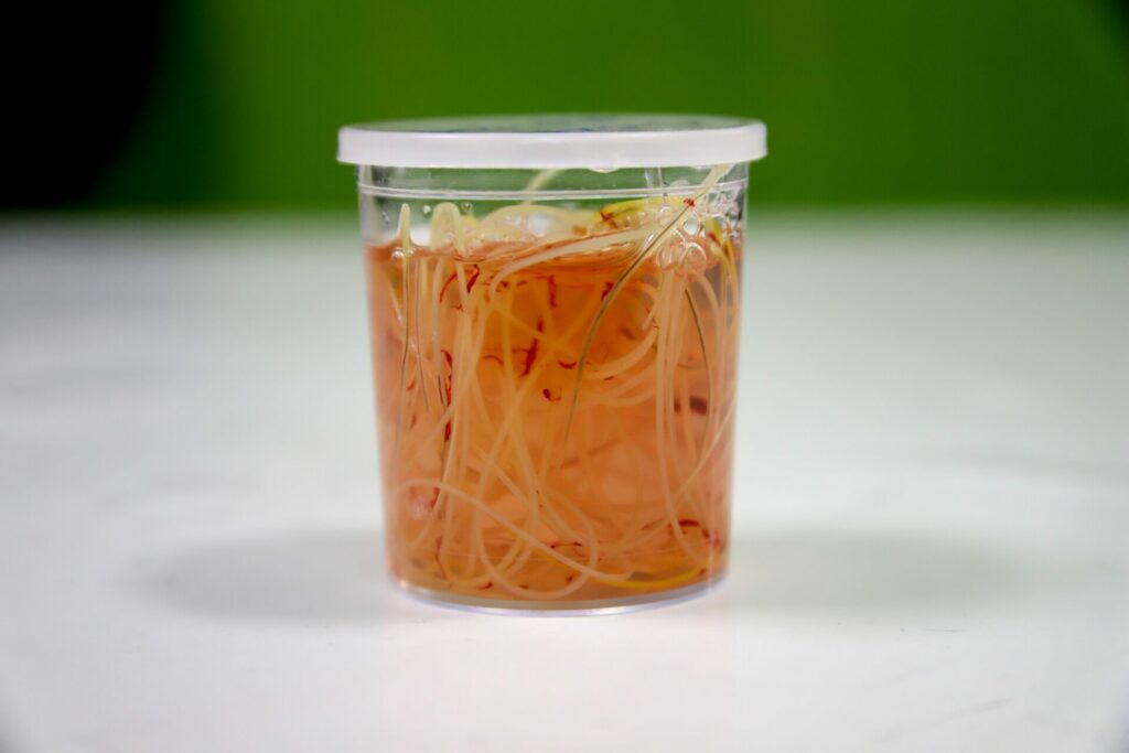 A jar of heartworms removed from a dog