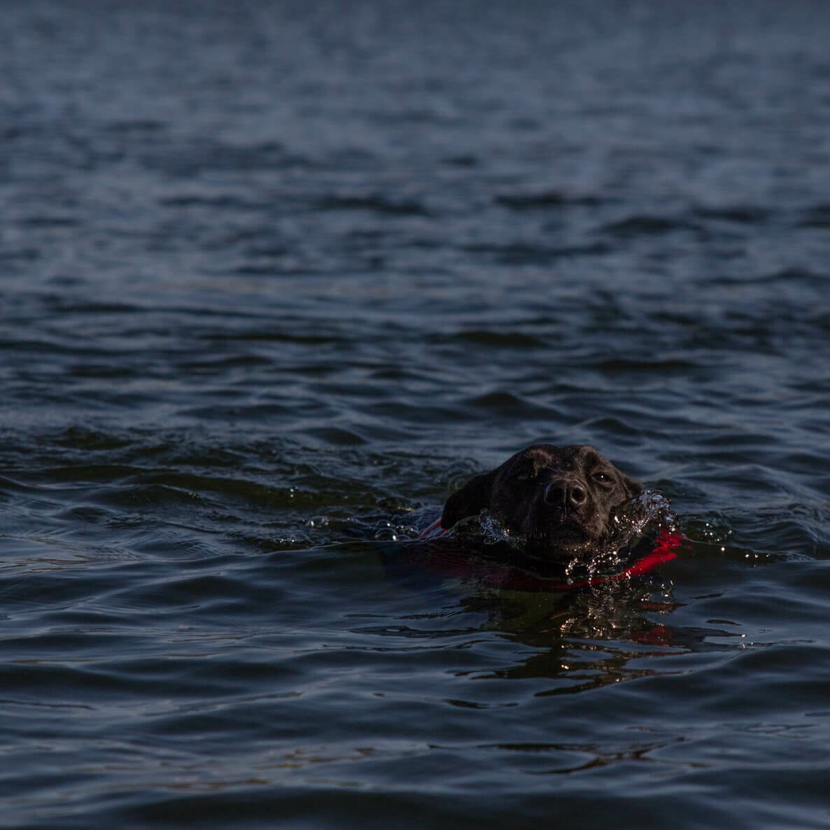 A dog swimming overboard in the ocean