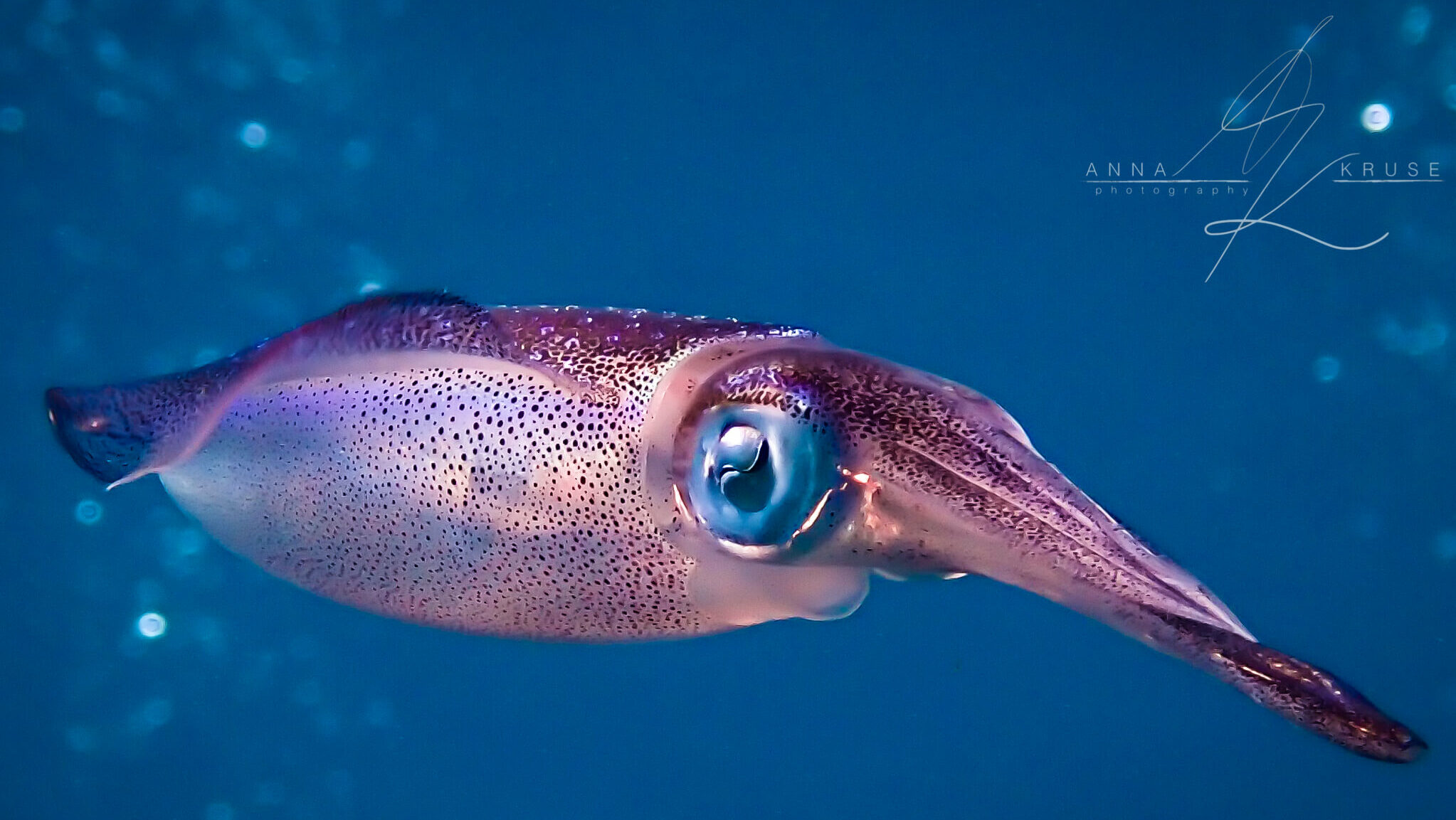 Colorful squid swims solo in the blue