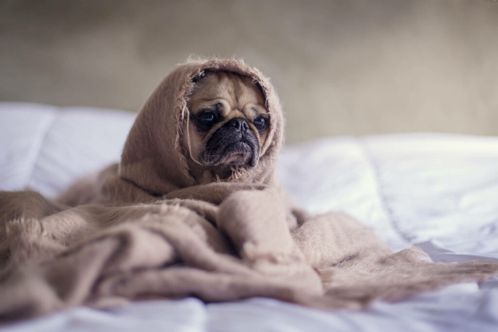Seasick dog rests while wrapped in a blanket